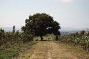 Tree in vineyard in Georgia