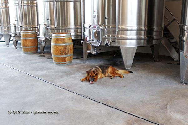 Winery dog, Domaine de la Paleine, Le Puy-Notre-Dame